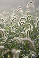 tassles of grass on foggy morning