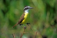 Great Kiskadee Pitangus sulphuratus adult, perched on twig, Pantanal, Mato Grosso, Brazil