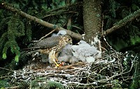 Merlin Falco columbarius Adult feeding young in nest