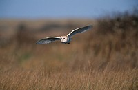 Barn Owl Tyto alba Flying low _ Norfolk _ February