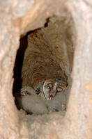 Barn Owl Tyto alba chicks asleep in tree nest hole, Kwai, Botswana
