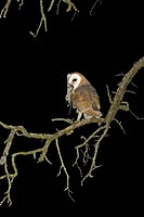 Barn Owl Tyto alba adult, perched on tree branch at night, mouse prey in beak, England