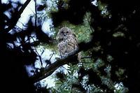 Pel´s Fishing Owl Scotopelia peli Okavango / Botswana
