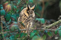 Long_eared Owl CAL 06excMS Asio otus Perched on branch _ winter _ Oldbury, Glos S
