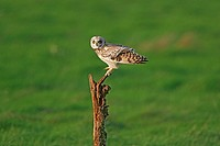 Short_eared Owl Asio flammeus adult, perched, Shingle Street, Suffolk, England, november