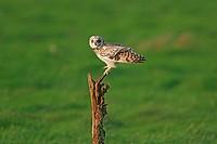 Short_eared Owl Asio flammeus adult, perched, Shingle Street, Suffolk, England, november