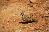 Spinifex Pigeon Geophaps plumifera Australia