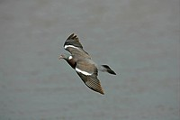 Wood Pigeon Columbus palumbus adult in flight