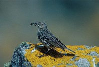 Rock Pipit Anthus spinoletta close_up / standing on rock with food in beak /