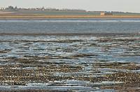 Eurasian Golden Plover Pluvialis apricaria flock, on mussel beds in coastal wetland habitat, The Swale, Kent, England, winter