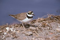 Little Ringed Plover Charadrius dubius On shore _ Lesvos, Greece _ April S