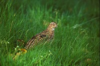Japanese Quail Coturnis japonica Male in long grass S