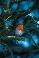 Robin Erithacus rubecula Perched on branch _ singing _ Sussex S
