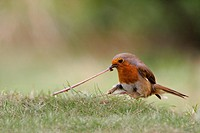European Robin Erithacus rubecula adult tugging earthworm, on garden lawn