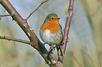 European Robin Erithacus rubecula adult, perched on rose bush in garden, West Sussex, England, january