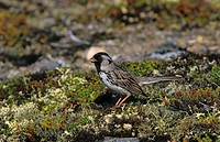 Harris Sparrow Zonotrichia querula Male on ground / White Fish Lake, NWT, Canada