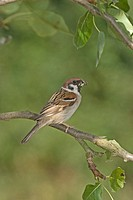 Tree Sparrow Passer montanus adult, perched in pear tree with food in beak, England, june