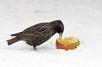 Common Starling Sturnus vulgaris adult in snow, feeding on apple, Germany, winter