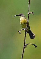Golden_winged Sunbird Nectarinia reichenowi adult female, perched on stem, Eburru Forest, Kenya, october