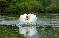 Mute Swan Cygnus olor adult swimming, making bow wave, Oxfordshire, England
