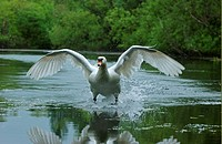 Mute Swan Cygnus olor adult landing on water, Oxfordshire, England