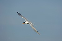 Royal Tern Sterna maxima adult, in flight, Florida, U S A