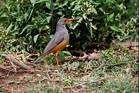 Bare_eyed Thrush Turdus tephronotus adult, standing on ground, Lake Naivasha, Kenya, october