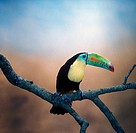 Keel_billed Toucan Rhamphastos sulfuratus Perched on branch / South America