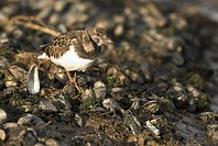 Ruddy Turnstone Arenaria interpres adult, foraging on mussel spoil heap, Norfolk, England, february