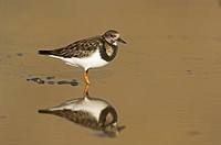 Ruddy Turnstone Arenaria interpres adult, winter plumage, reflection in coastal pool, Norfolk, England, february