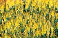 France, Vaucluse, Luberon Region, Cereal Field