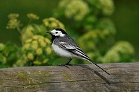 Pied Wagtail Motacilla alba yarrellii adult female, standing on wood, England
