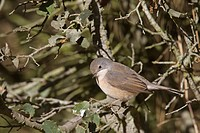 Subalpine Warbler Sylvia cantillans autumn female / immature, perched on twig, Spain