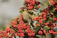 Bohemian Waxwing Bombycilla garrulus adult feeding on cotoneaster berries