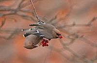Bohemian Waxwing Bombycilla garrulus two adults, migrants, feeding on rowan berries, Norfolk, England, winter