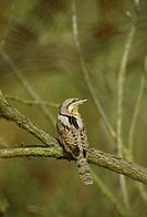 Wryneck Jynx torquilla Perched on branch _ Norfolk S