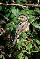 Wryneck Jynx torquilla On bramble, autumn migrant, Landguard, Suffolk, England