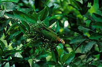 Parrot _ Brown _ hooded Pionopsitta haematotis Sitting in tree / berries on branch