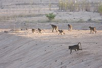 Chacma Baboon Papio cynocephalus ursinus troop, walking across dry sandy riverbed, Kruger N P , Mpumalanga, South Africa