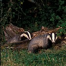 Badger Meles meles Close up _ next to fallen tree branch S