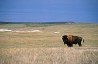 American Bison Bison bison Standing _ Badlands NP South Dakota _ largest protected grasslands in USA