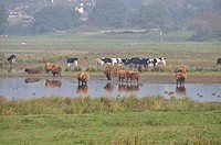 Domestic Cattle, Highland and Holstein Friesian herd, standing in watermeadow habitat, Pulborough Brooks, West Sussex, England, october