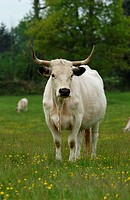 White Park Cattle, cow standing, Berkshire, England