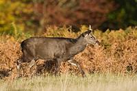 Sika Deer Cervus nippon young stag, walking in bracken, Knole Park, Kent, England, autumn