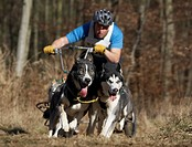 Domestic Dog, Siberian Husky sled team, dry rig husky racing, Thetford Forest, Norfolk, England