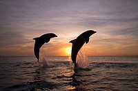Bottle_nosed Dolphin Tursiops truncatus Adults leaping at sunset, Roatan, Honduras, Caribbean Sea