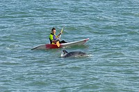 Bottle_nosed Dolphin Tursiops truncatus adult porpoising beside kayak, Folkestone, Kent, England