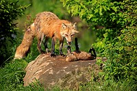 American Red Fox Vulpes vulpes fulva adult, with cub playing on rock, Minnesota, U S A