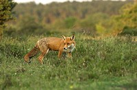 Red Fox Vulpes vulpes adult female, hunting on lowland heathland, Dorset, England, may