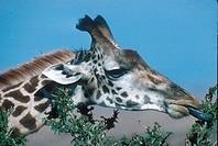 Masai Giraffe Giraffa camelopardis Browsing on acacia _ Kenya FL007204 S